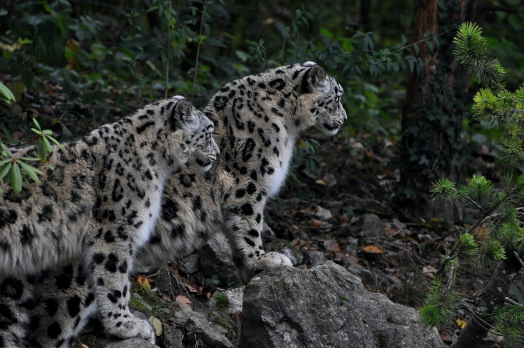 snow-leopard-BRI-central-asia